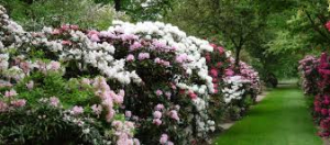 rododendron_1.jpg